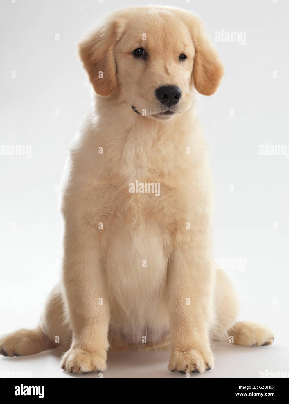 Golden Retriever Puppy 4 Months Female Stock Photo 104746514 Alamy