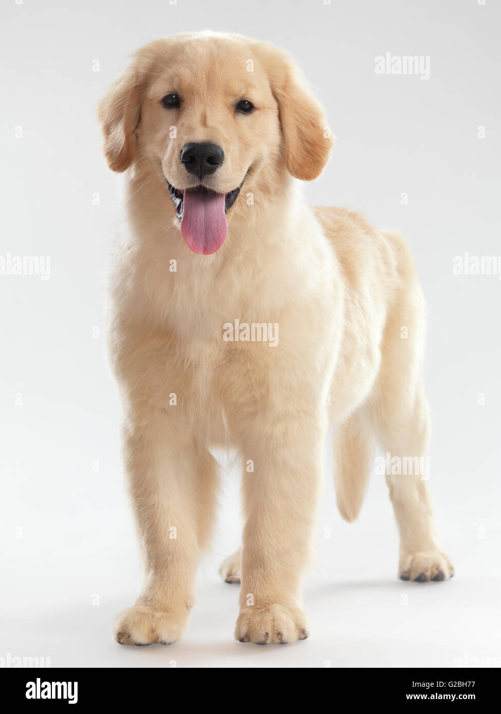 Golden Retriever Puppy 4 Months Female Standing