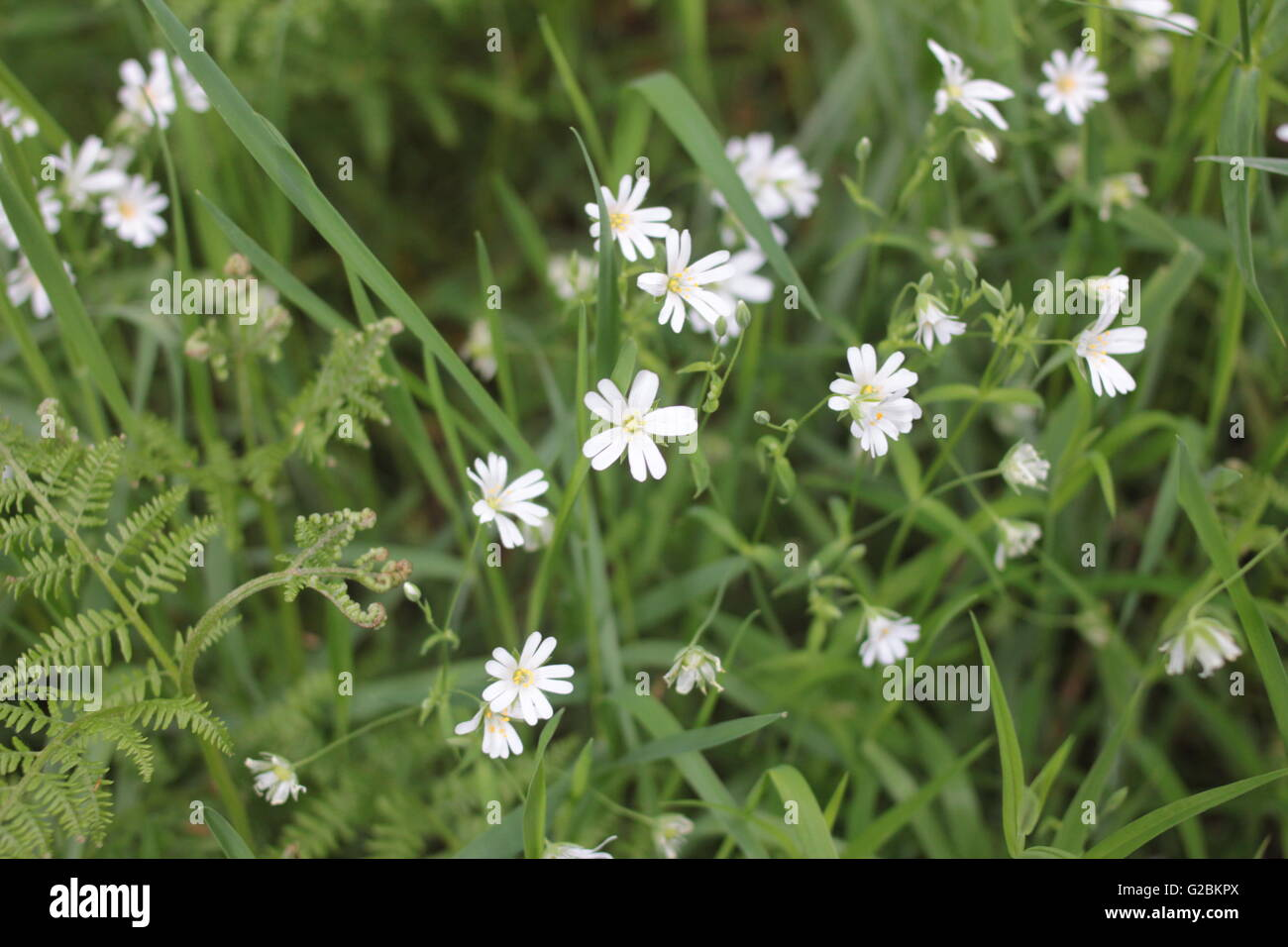White 'belly button' wild flowers - Stock Image
