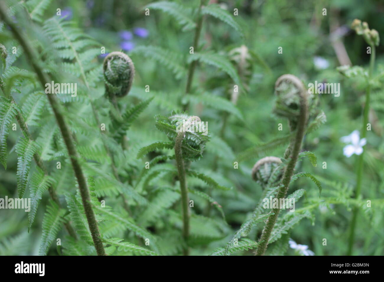 Wild curled fern leaves - Stock Image