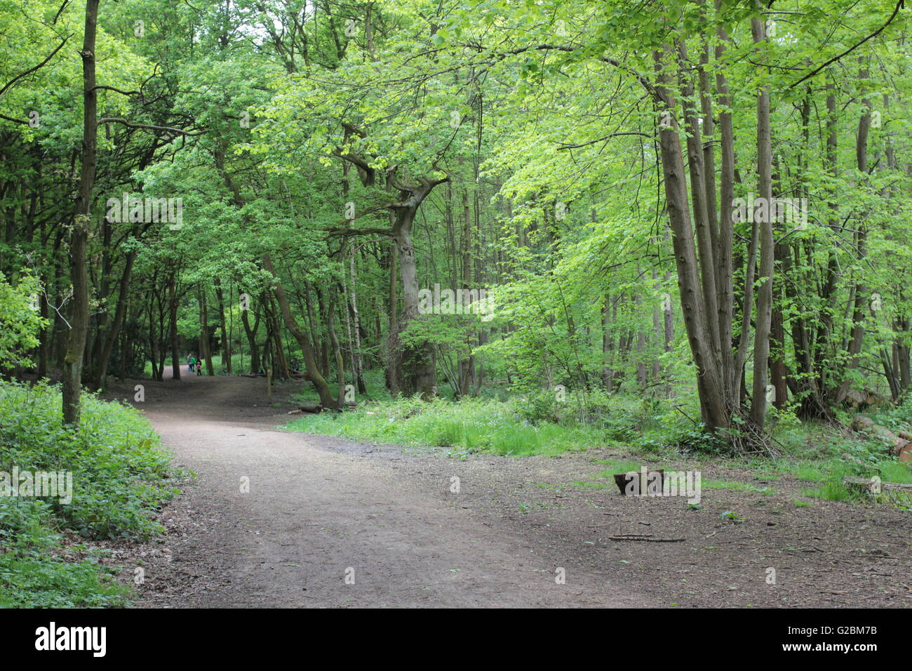 Ancient  coppiced woodland with path Stock Photo
