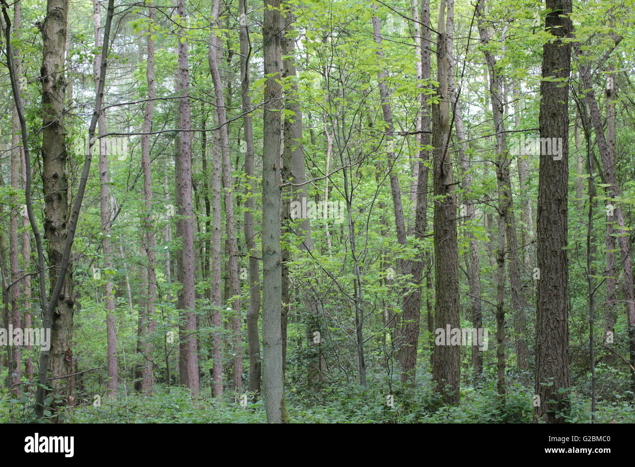 Coppiced managed woodland - Stock Image