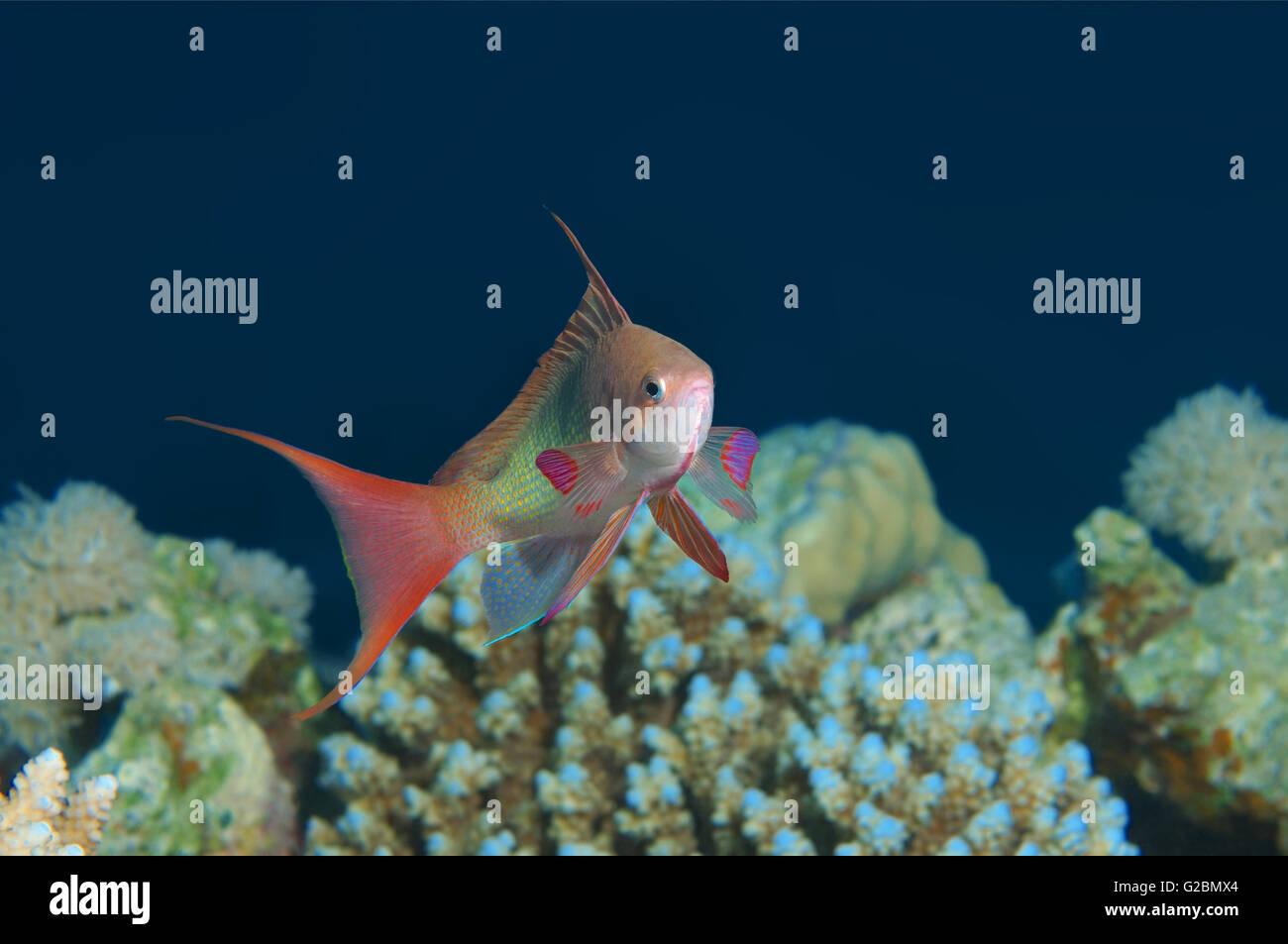 Sea goldie,  Lyretail coralfish,  Lyretail anthias, Orange butterfly perch, Orange basslet  (Pseudanthias squamipinnis) - Stock Image