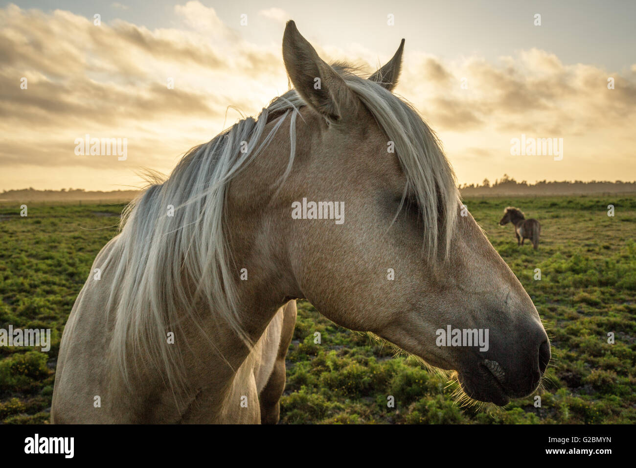 Profile of a horse, close-up, with a mini horse in the background. - Stock Image
