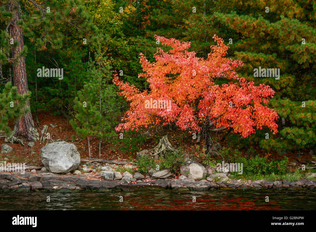 A Mountain Maple Acer Spicatum Shows Its Fall Colors In Voyageurs