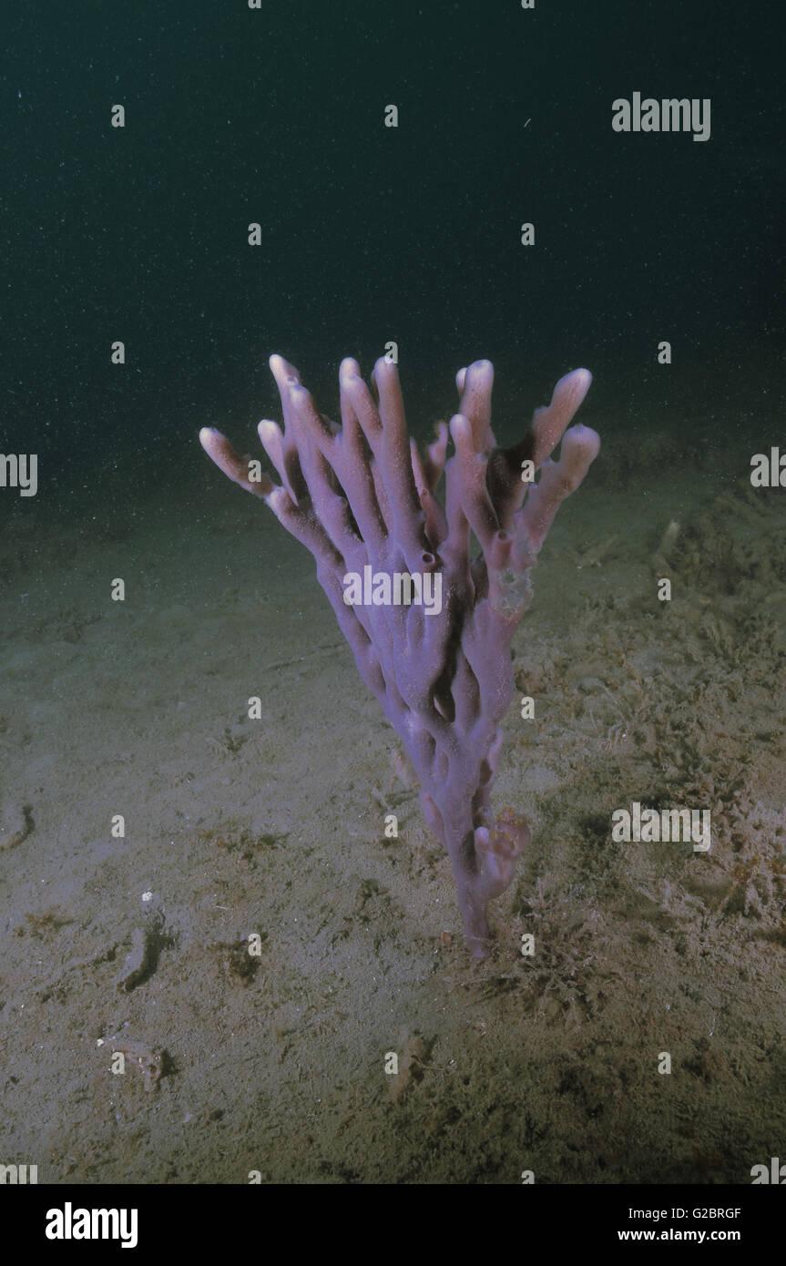 Purple finger sponge in dark Stock Photo