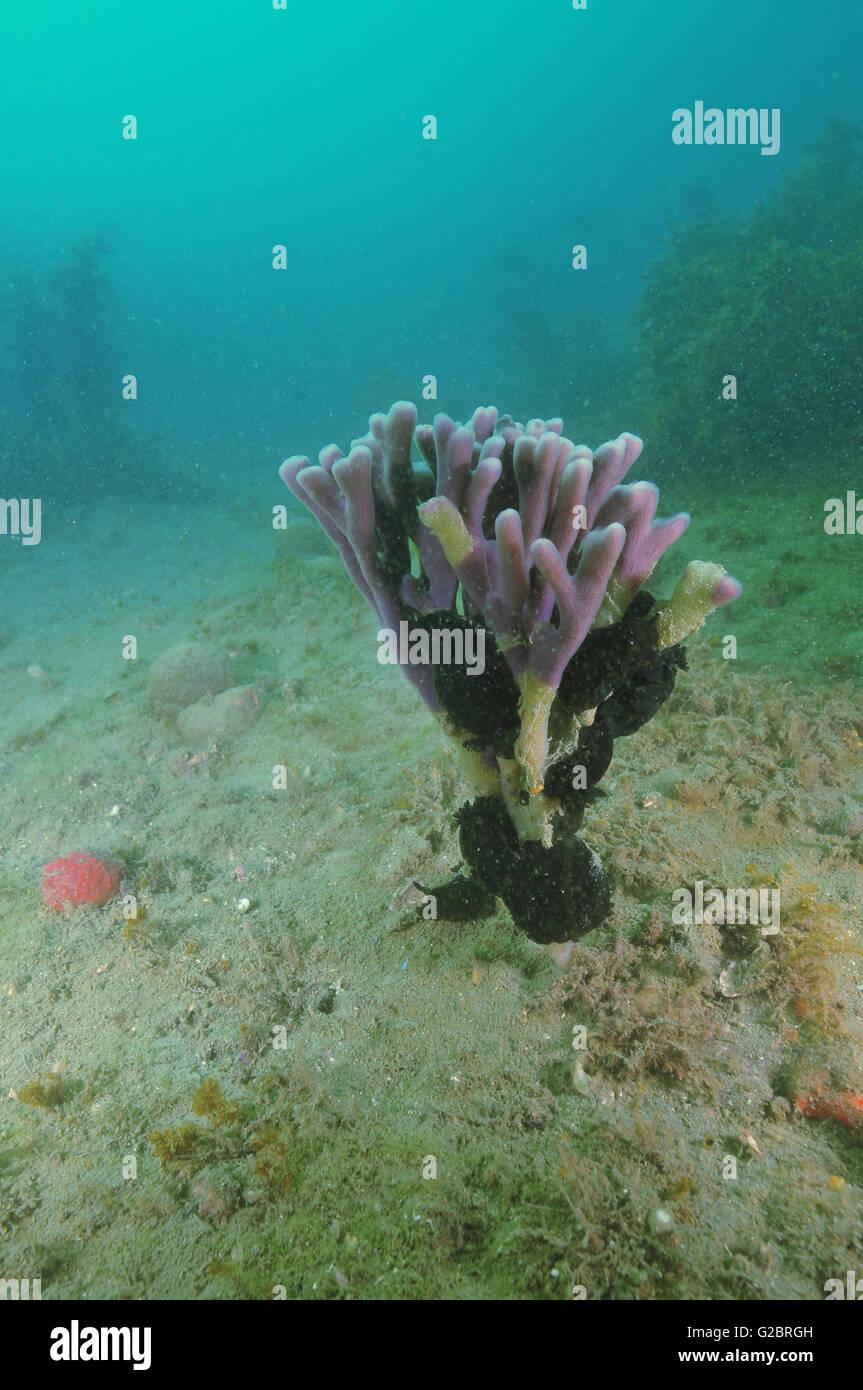 Purple finger sponge with black nudibranches Stock Photo