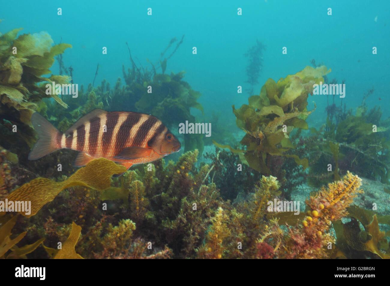 Red moki among seaweeds - Stock Image