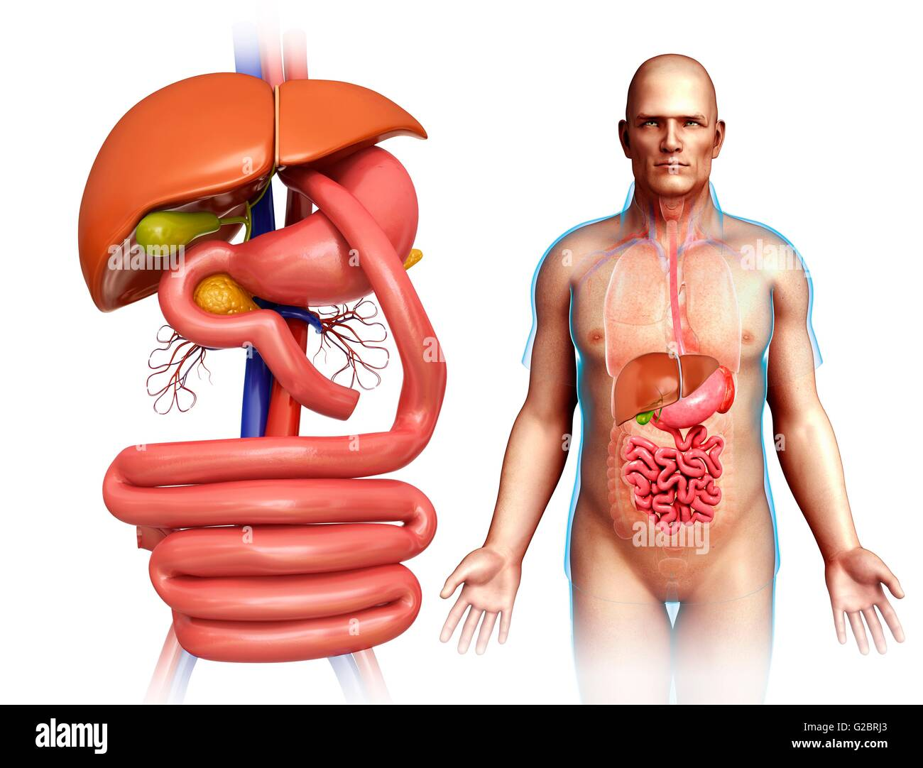 Gastric Bypass Illustration Stock Photos & Gastric Bypass ...