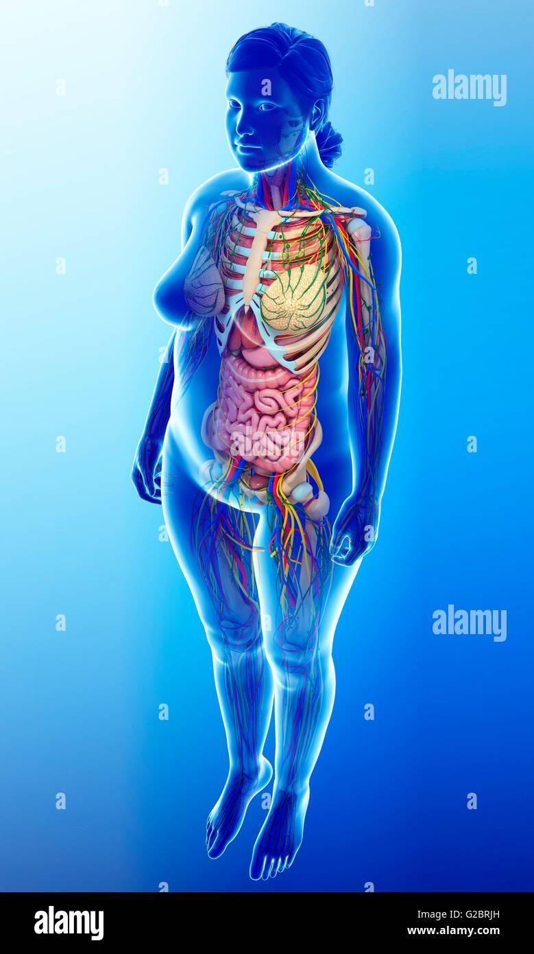 Human internal organs, illustration. - Stock Image