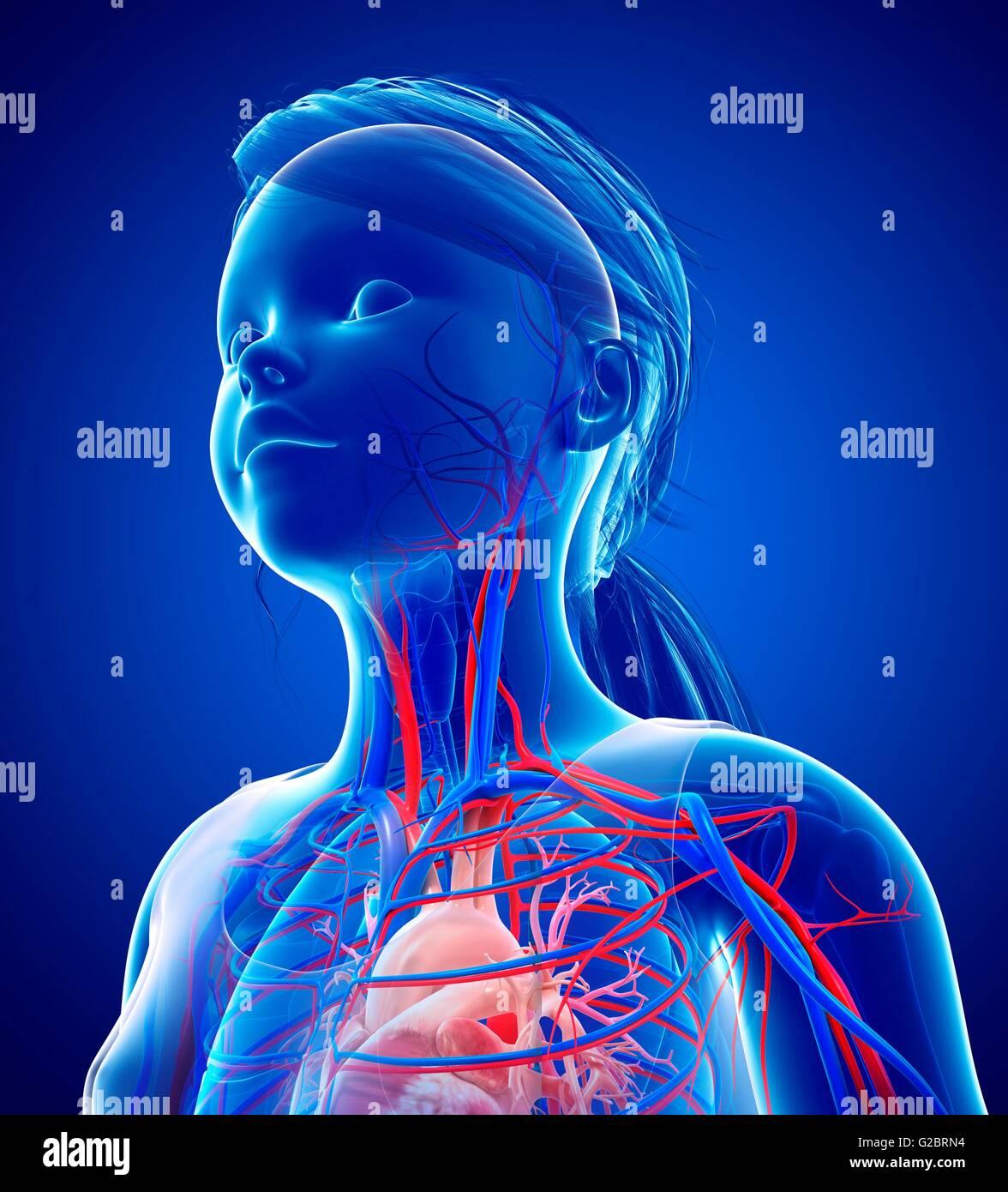 Human Neck Vascular System Stock Photos Human Neck Vascular System