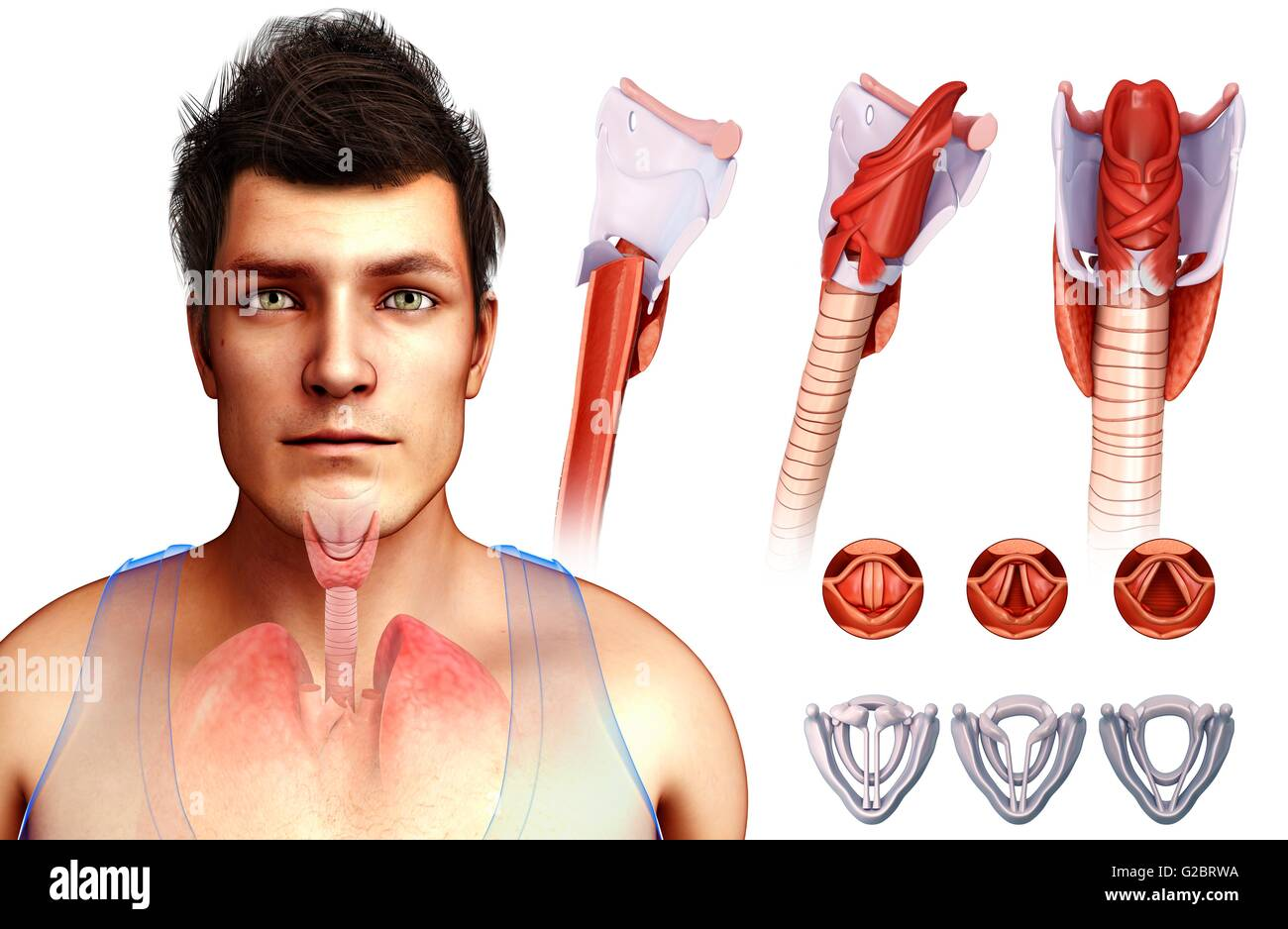 Human vocal cords and larynx, illustration Stock Photo: 104751734 ...