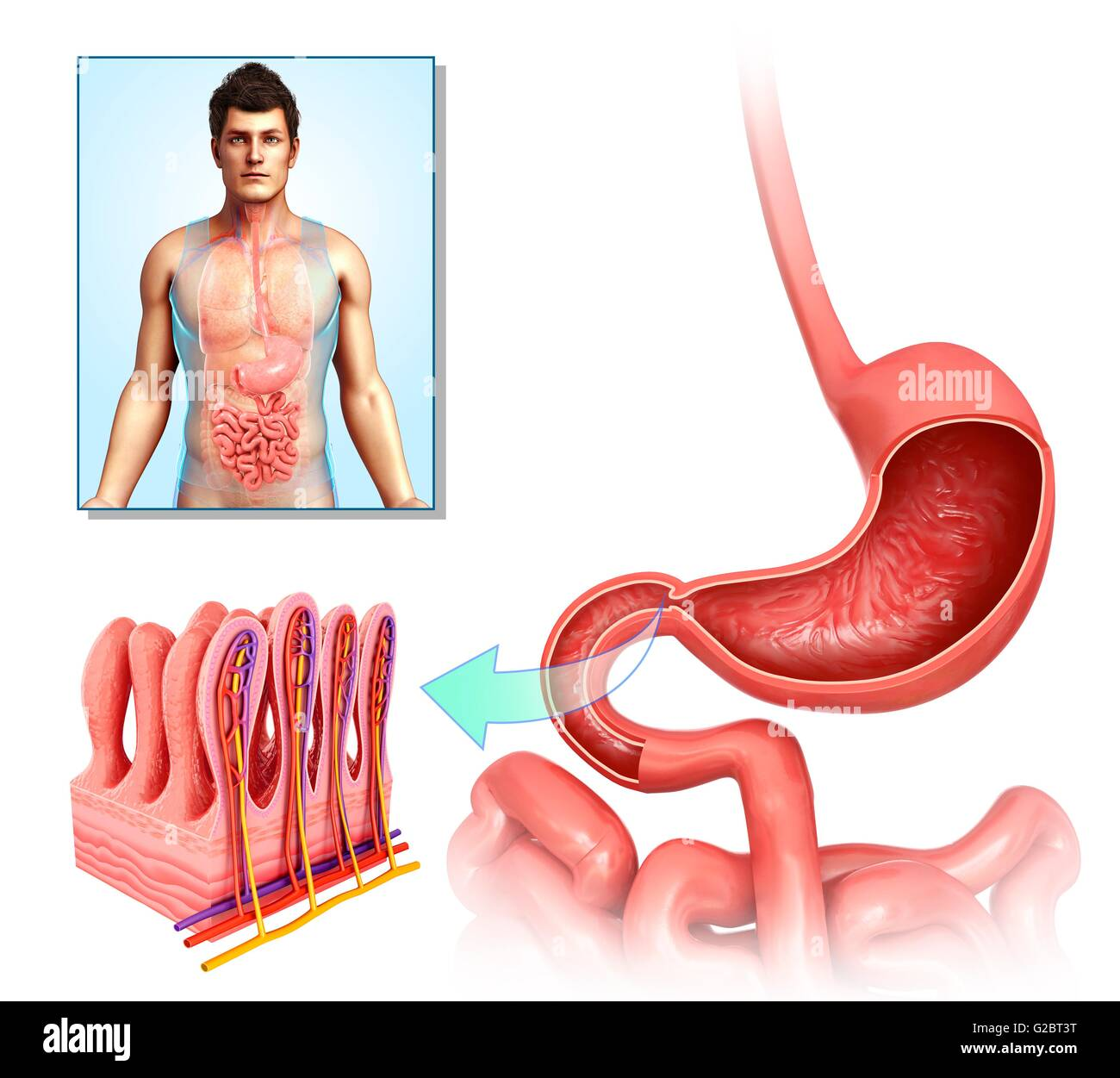 Villi Of The Human Stomach Illustration Stock Photo 104751916 Alamy