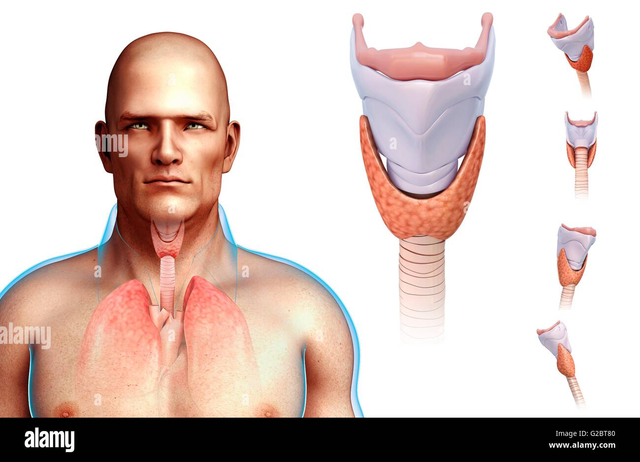 Human vocal cords and larynx, illustration Stock Photo: 104752032 ...