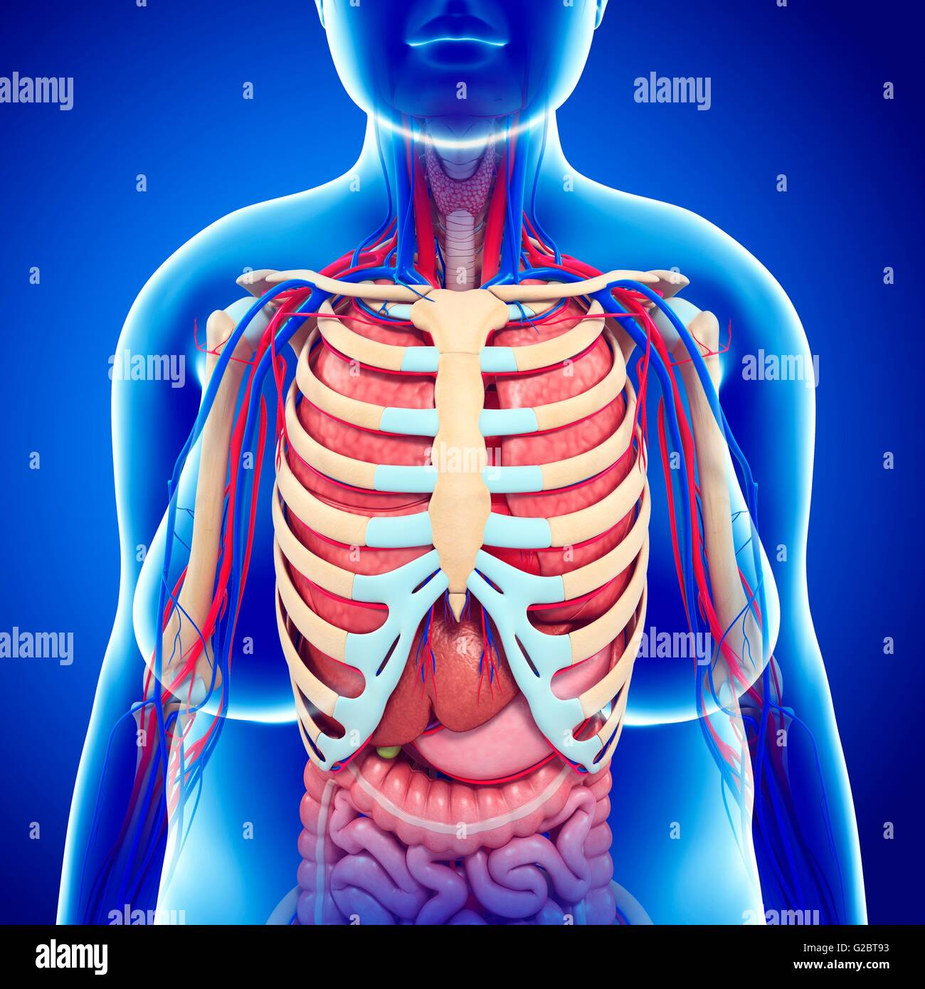 Human ribcage and internal organs illustration stock photo human ribcage and internal organs illustration ccuart Image collections