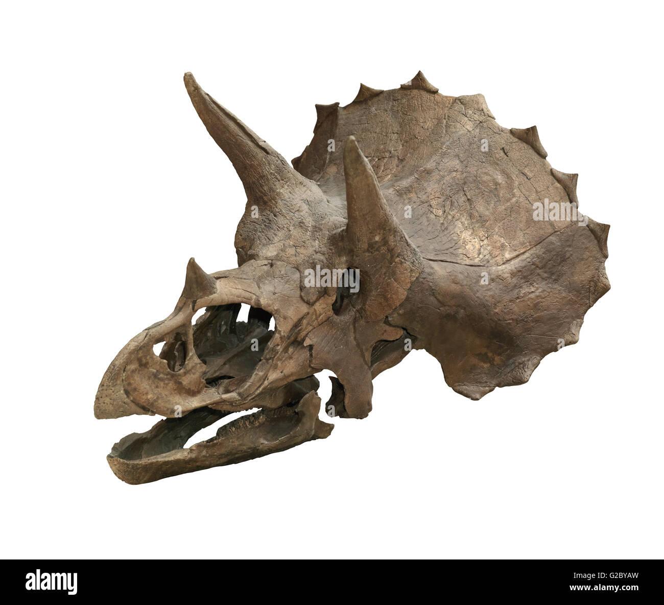 Dinosaur skull, Triceratops Horridus - Stock Image