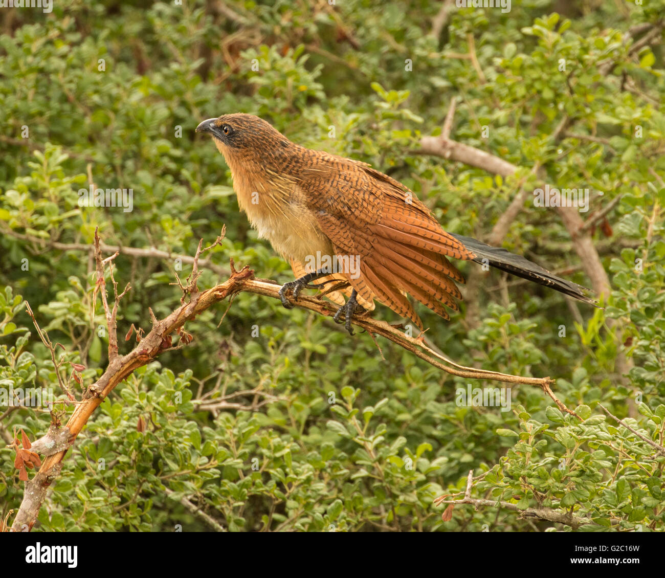 The White Browed Coucal (Centropus burchelli) - Stock Image