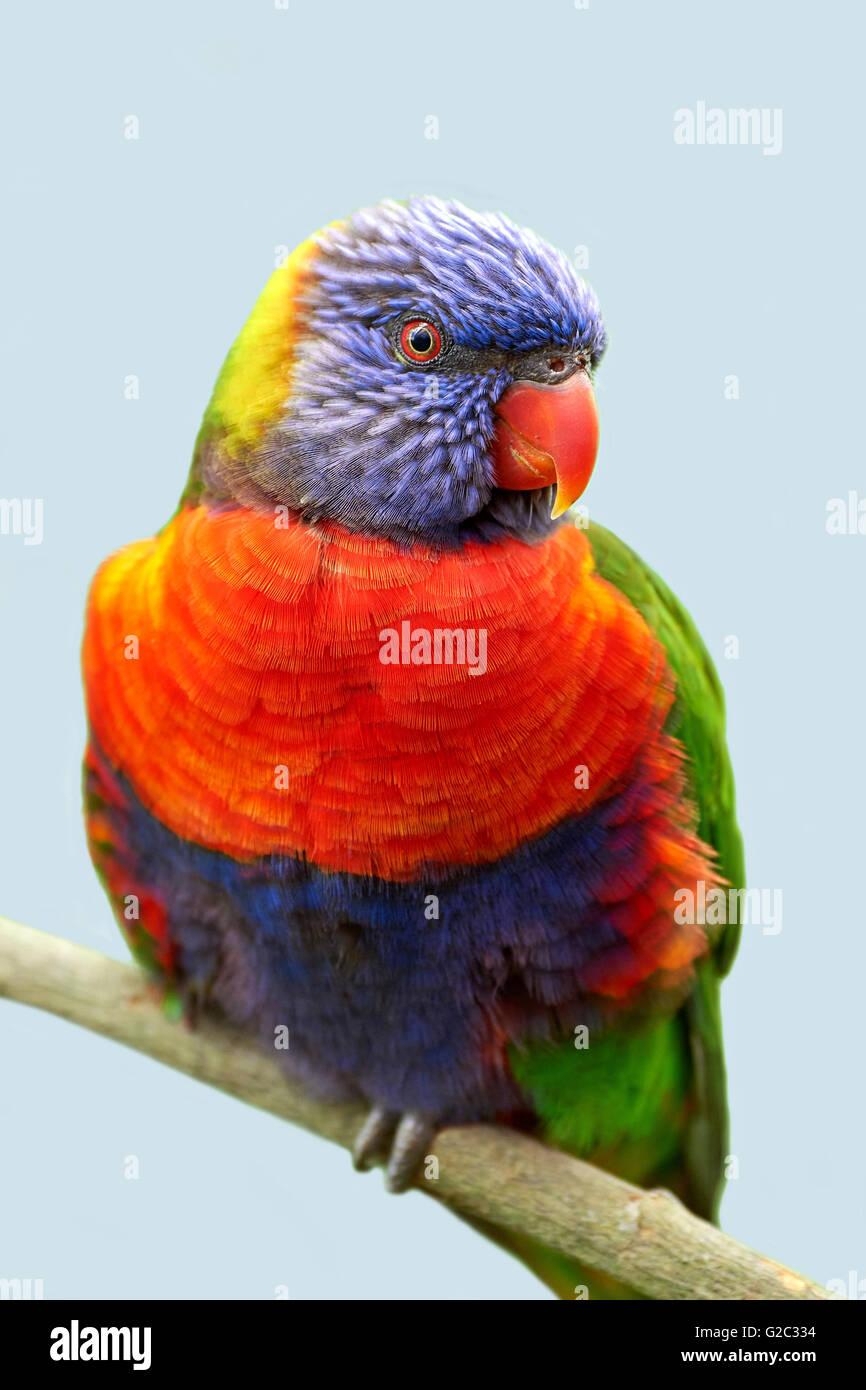 Rainbow lorikeet sitting on a branch in its habitat - Stock Image