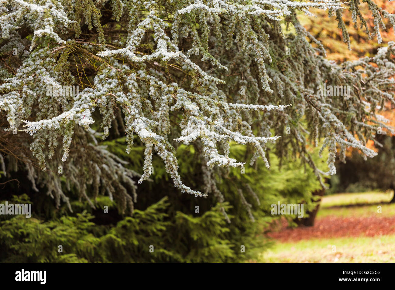 Closeup on conifer tree spikes in an autumn garden - Stock Image