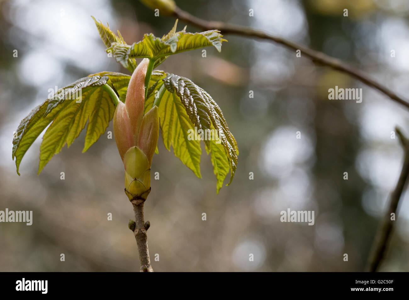 Kastanienblätter mit Knospe, an einem Zweig, Makro  Chestnut leaves with bud on a branch, macro - Stock Image