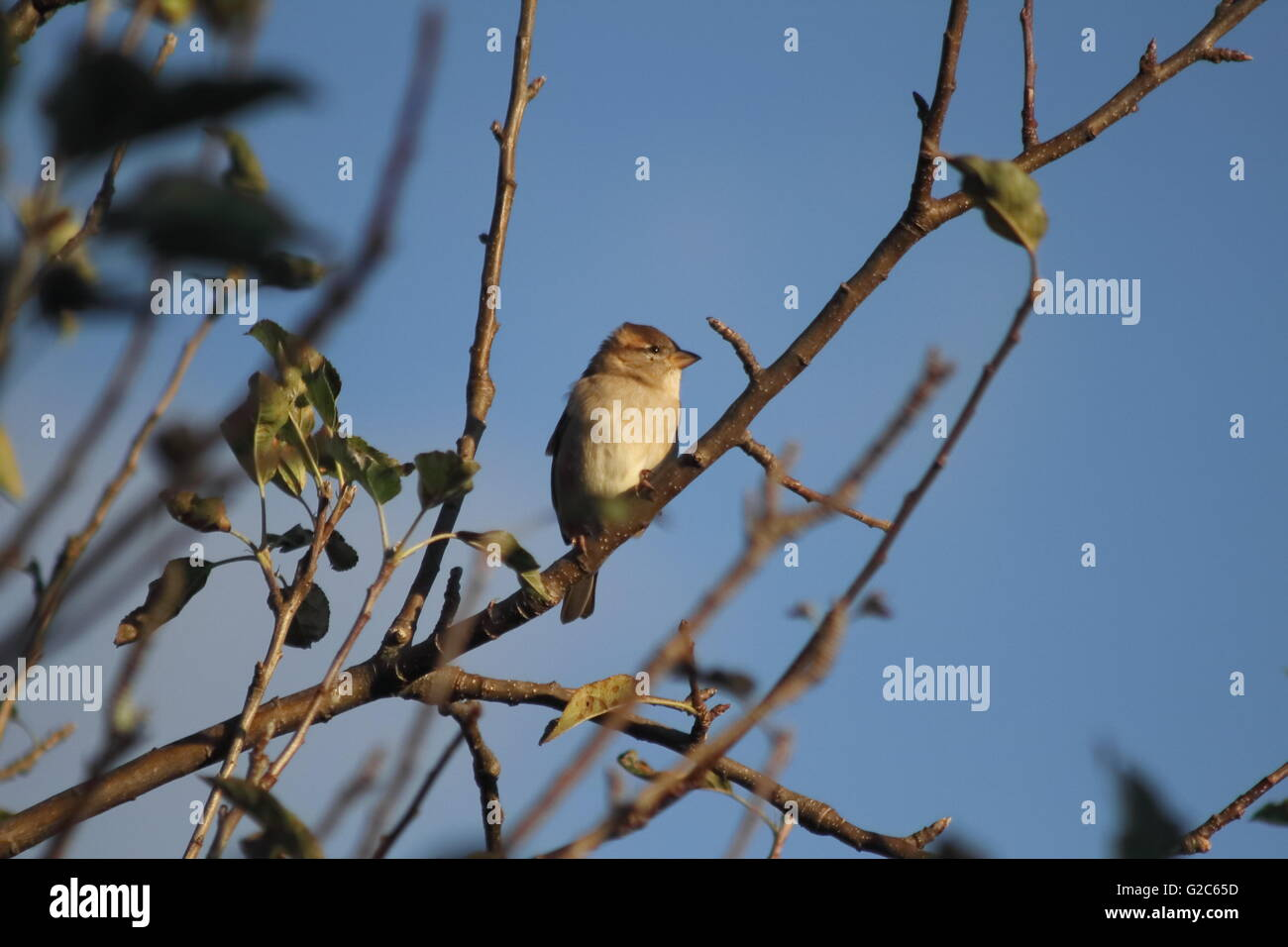 The ubiquitous house sparrow (Passer domesticus) on a tree branch early in the morning - Stock Image