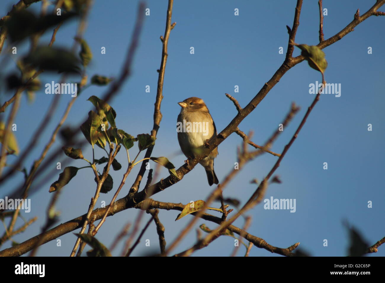 A house sparrow (Passer domesticus) stopping by to perch on a branch Stock Photo