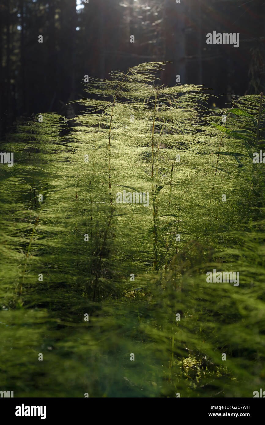 Forest vegetation, Dalarna, Sweden - Stock Image