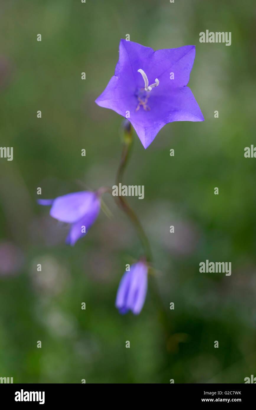 Bellflower, Dalarna, Sweden Stock Photo