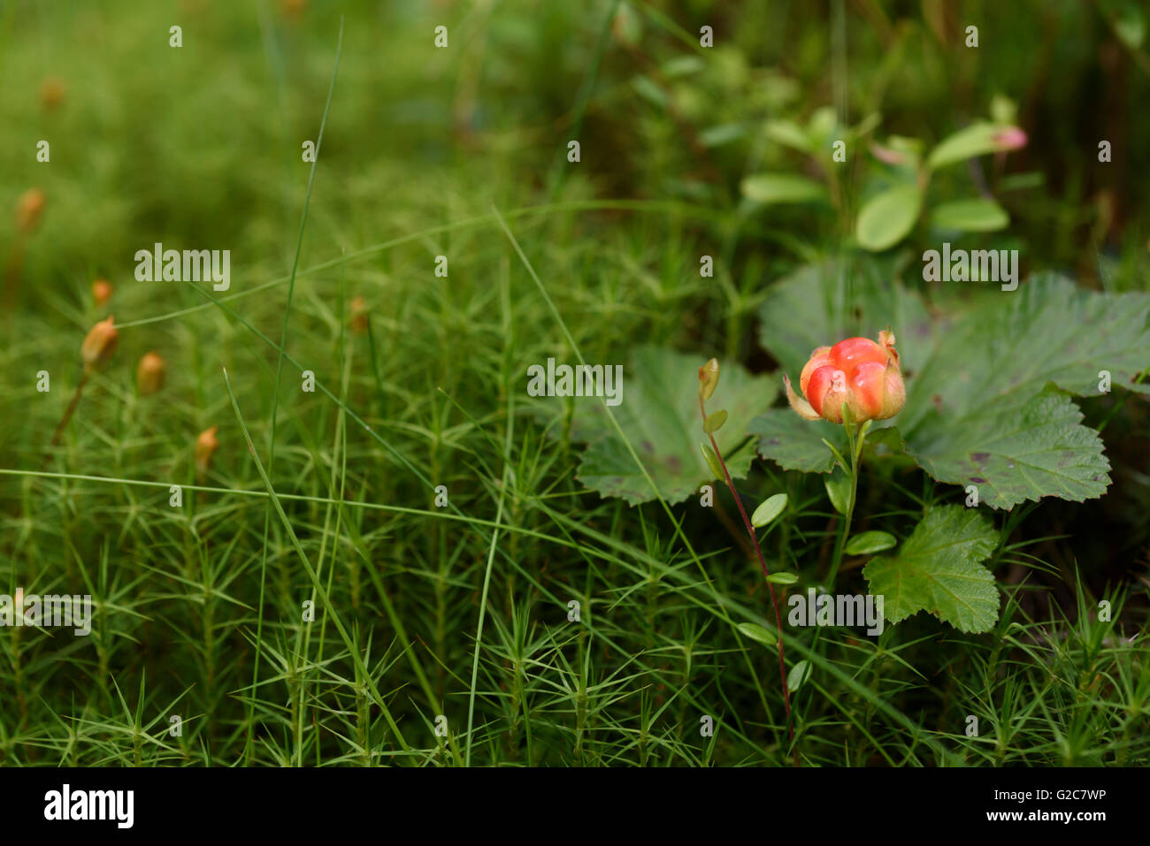 Cloudberry, Rubus chamaemorus, Dalarna, Sweden - Stock Image