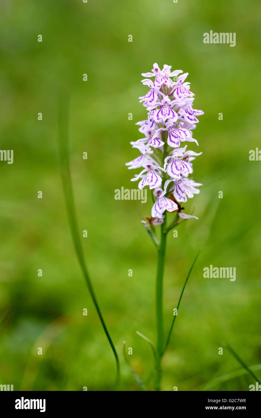 Orchid, Dactylorhiza maculata, Dalarna, Sweden - Stock Image
