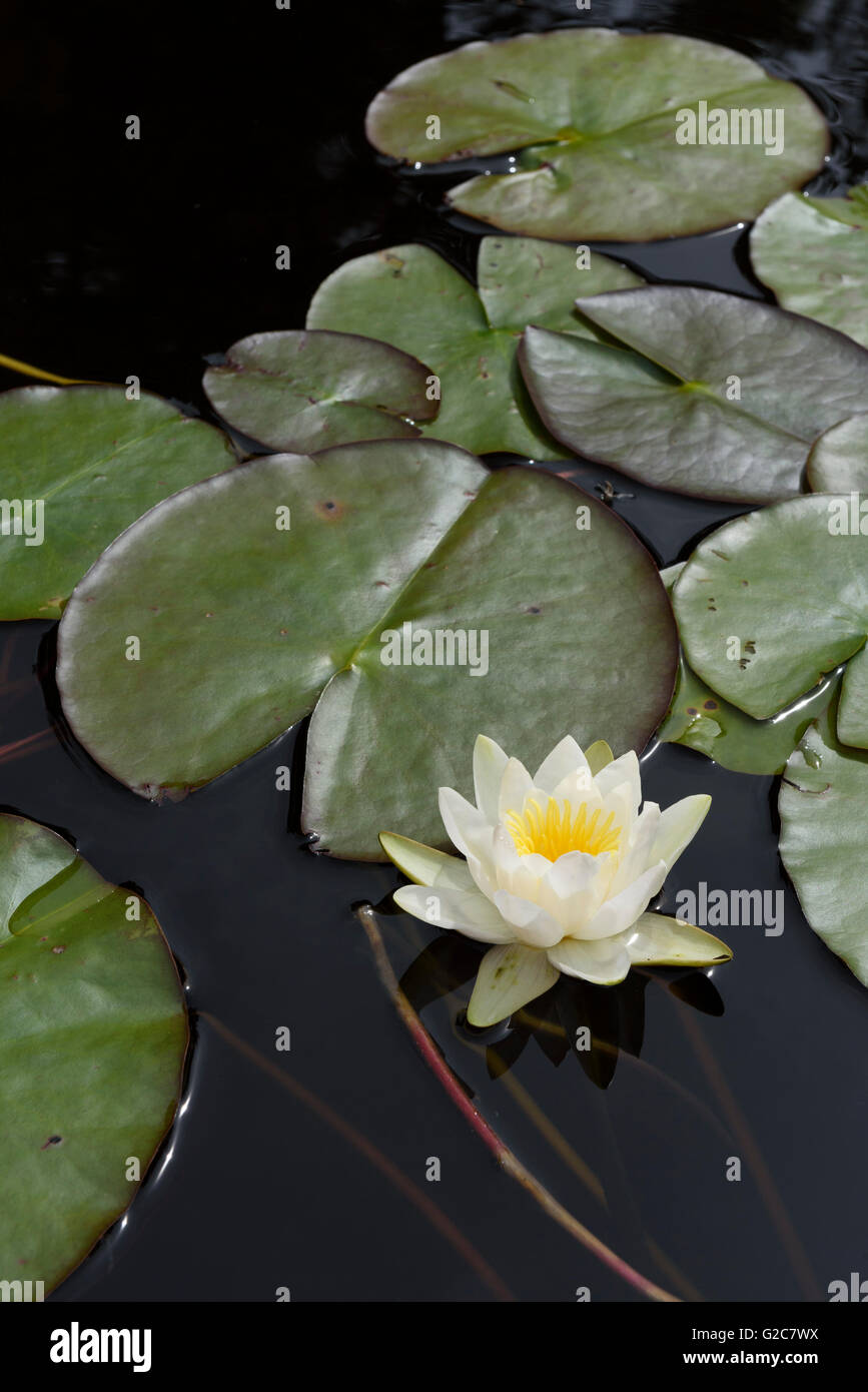 Water lily, in a lake in Dalarna, Sweden - Stock Image