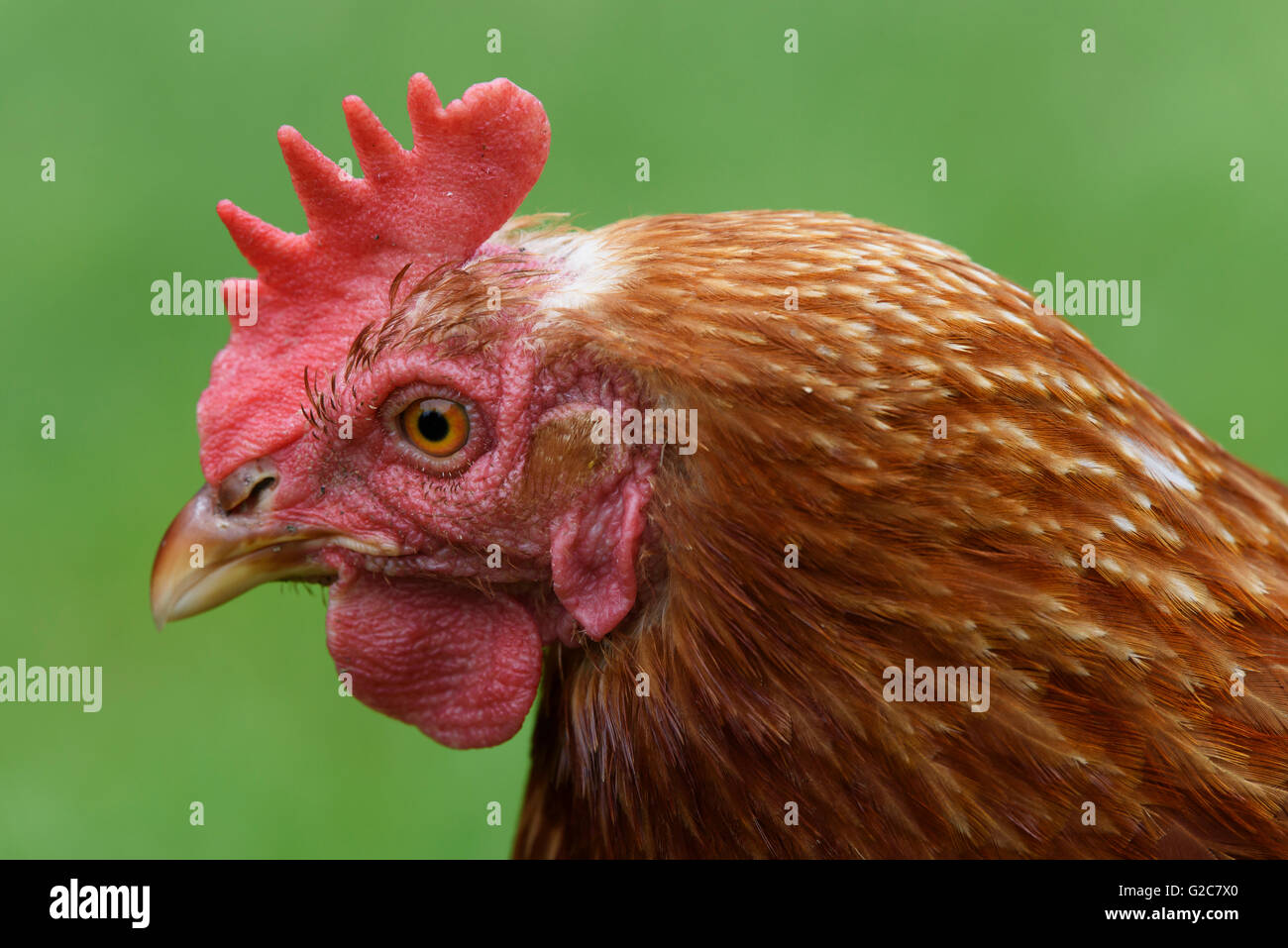 Close up of a domestic hen on a farm in Dalarna, Sweden - Stock Image