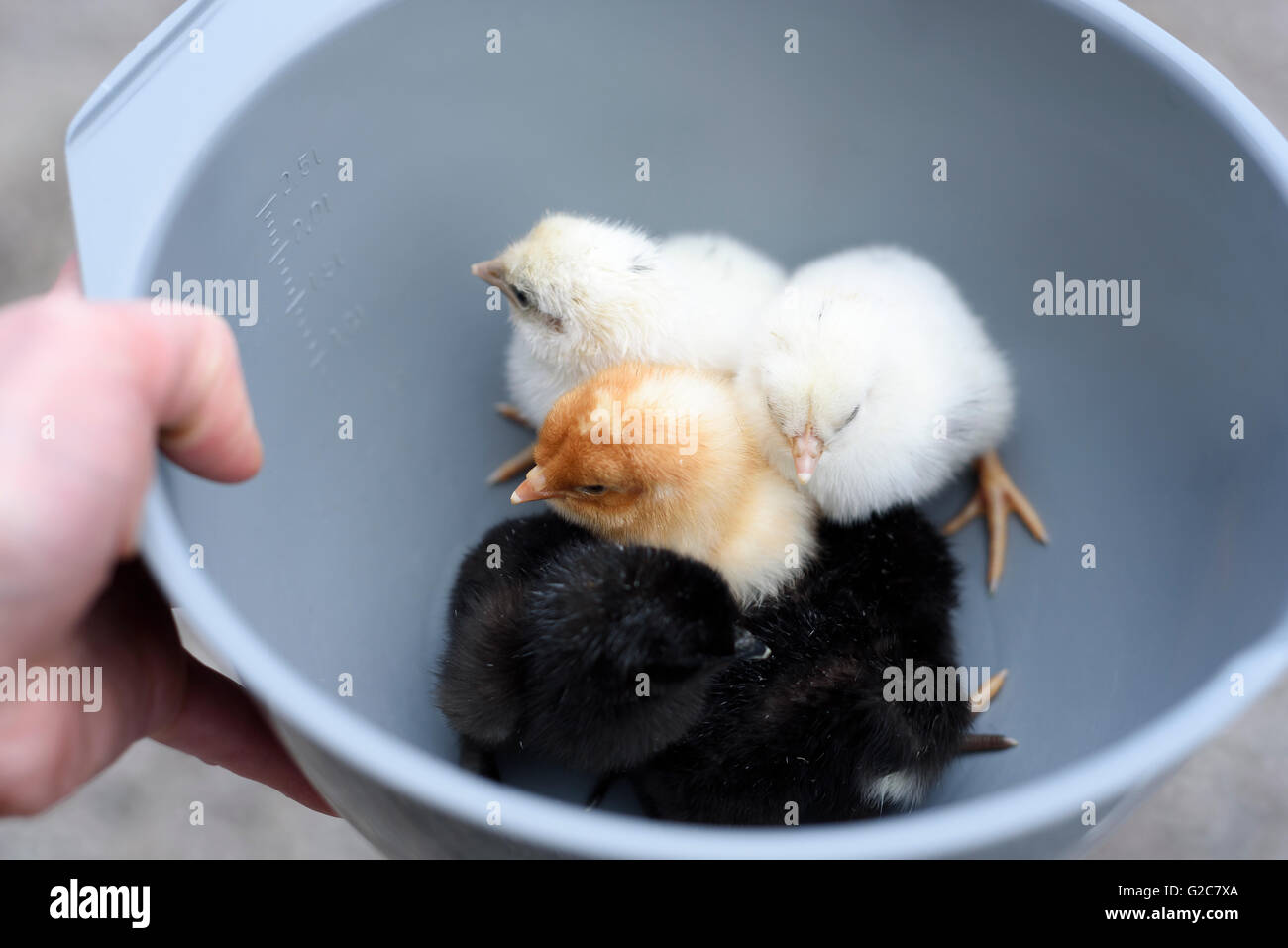 Newly hatched chickens, one day old, on a farm in Dalarna, Sweden - Stock Image