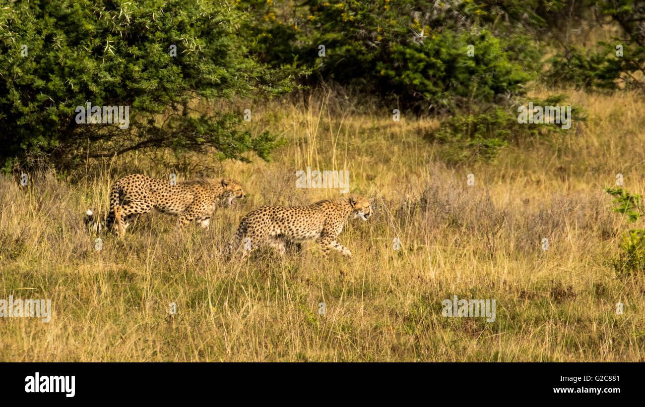 A Pair Of Cheetah (Acinonyx jubatus) Closing In On A Kill - Stock Image