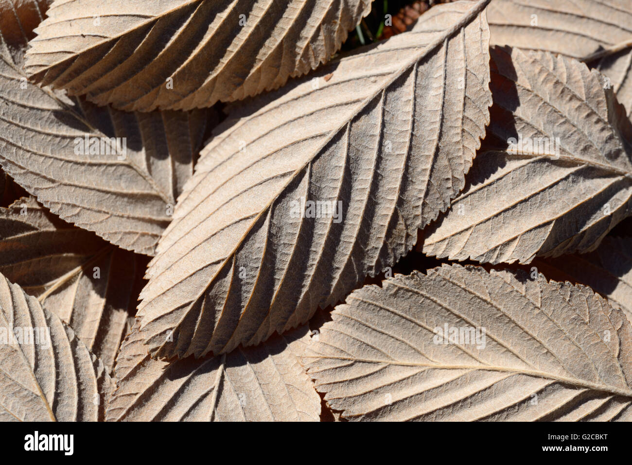 Leaf Pattern or Patterns of Common Whitebeam, Sorbus aria, Leaves - Stock Image