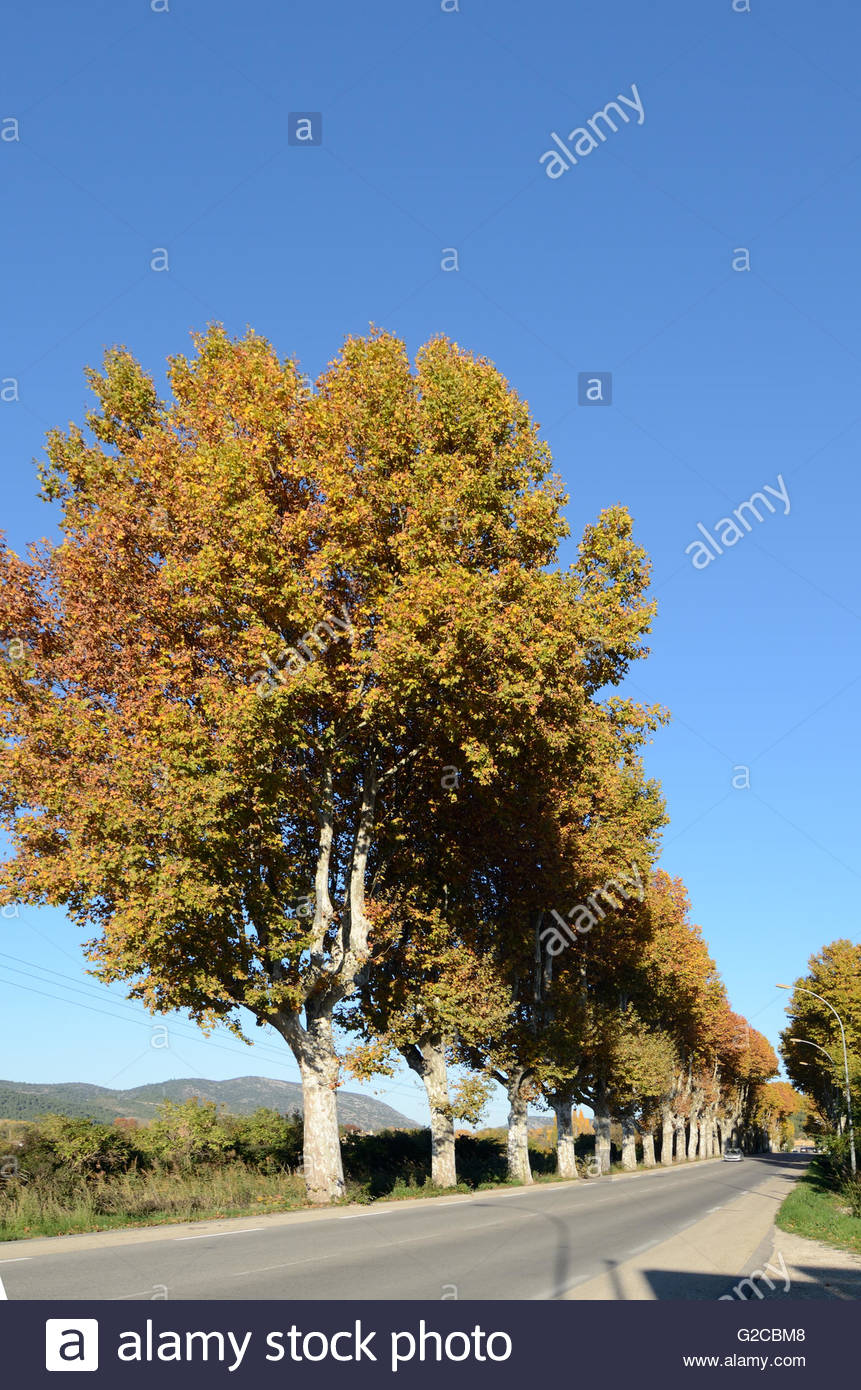 Line of Autumn Plane Trees Along Roadside near Peyrolles Provence France - Stock Image