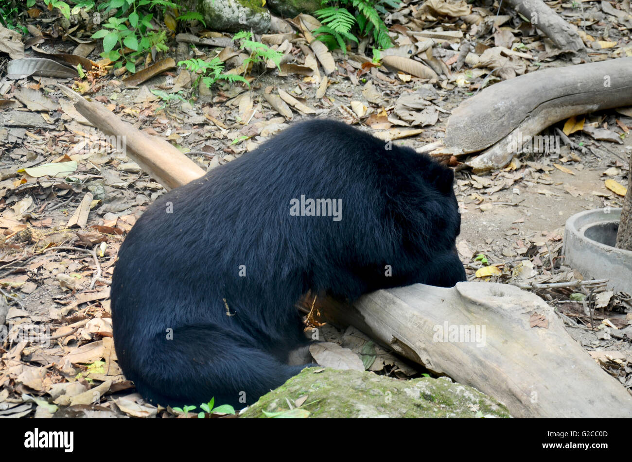 Motion of Asian black bear, asiatic black bear, Tibetan black bear,Himalayan black bear or moon bear relax at forest - Stock Image