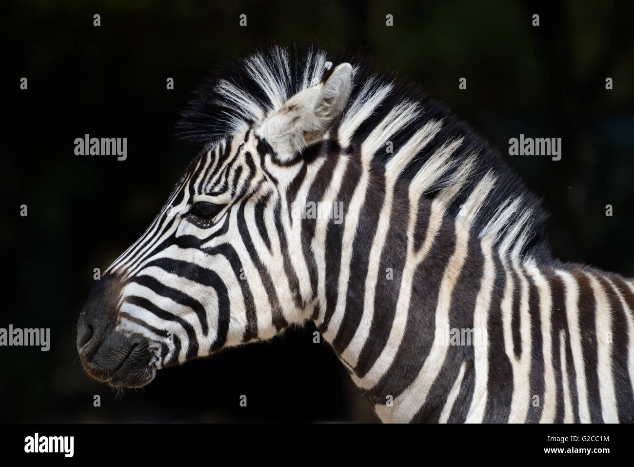 Portrait of Burchell's Zebra (Equus quagga burchellii) - Stock Image