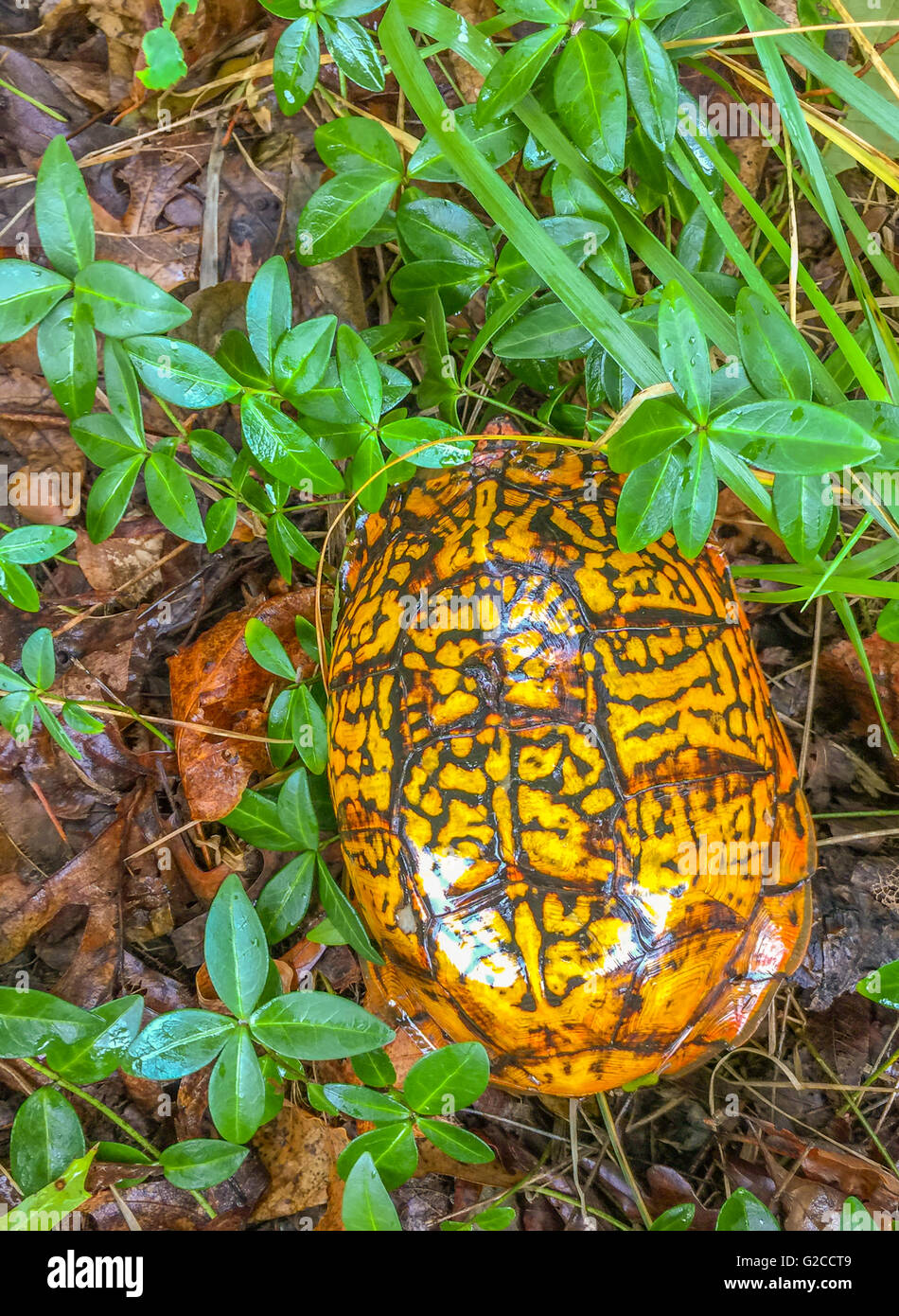 a brilliant colored box turtle or terrapene in some wet underbrush - Stock Image