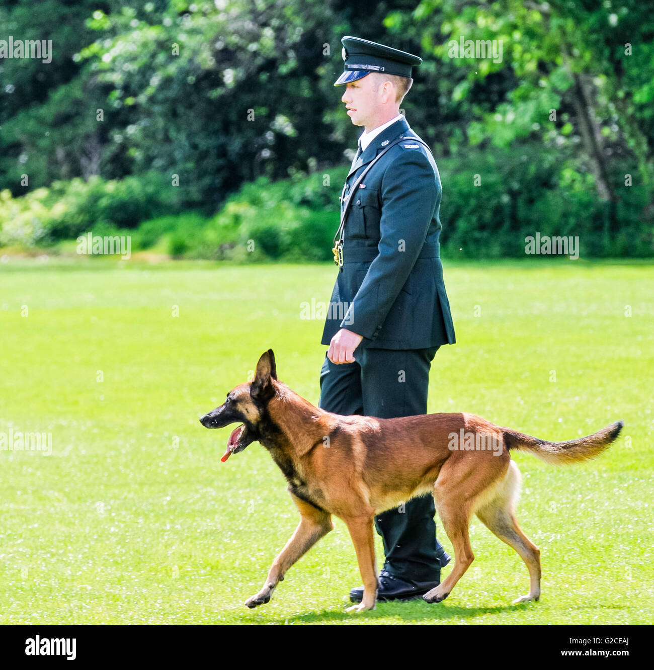 BELFAST, NORTHERN IRELAND. 22 MAY 2016: Police Dog Mike is put through his paces at the 56th National UK Police - Stock Image