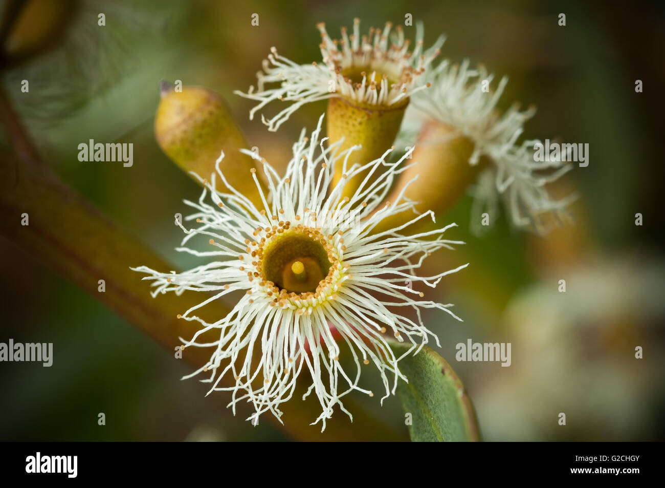 Flower Mallee Tree, Australia. - Stock Image