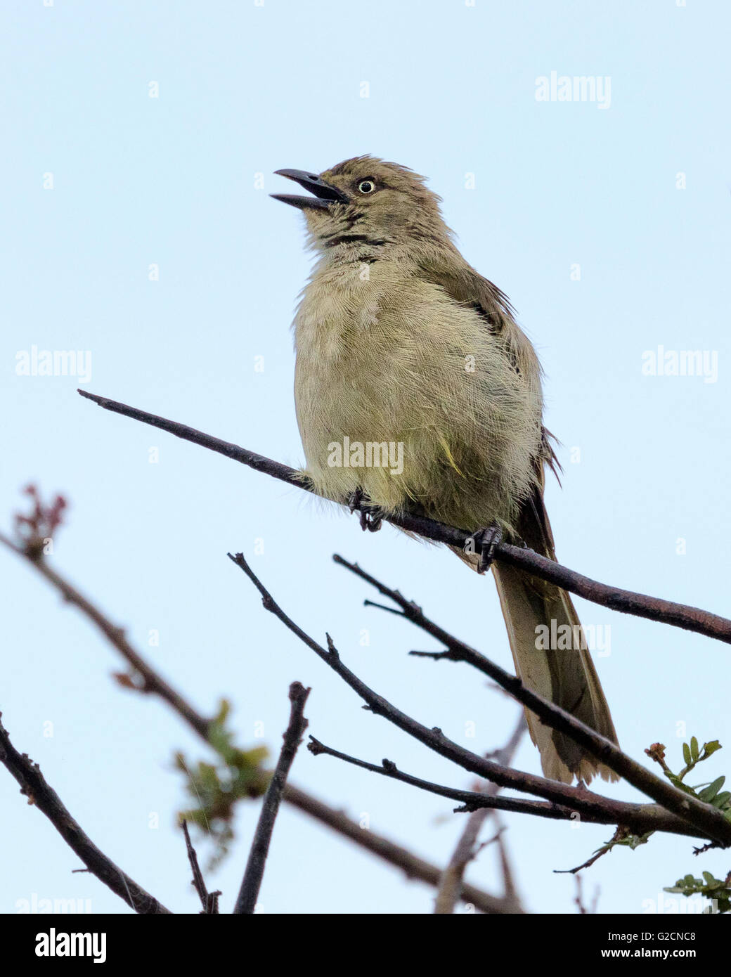 The Fiscal Flycatcher (Melaenornis silens) Singing - Stock Image
