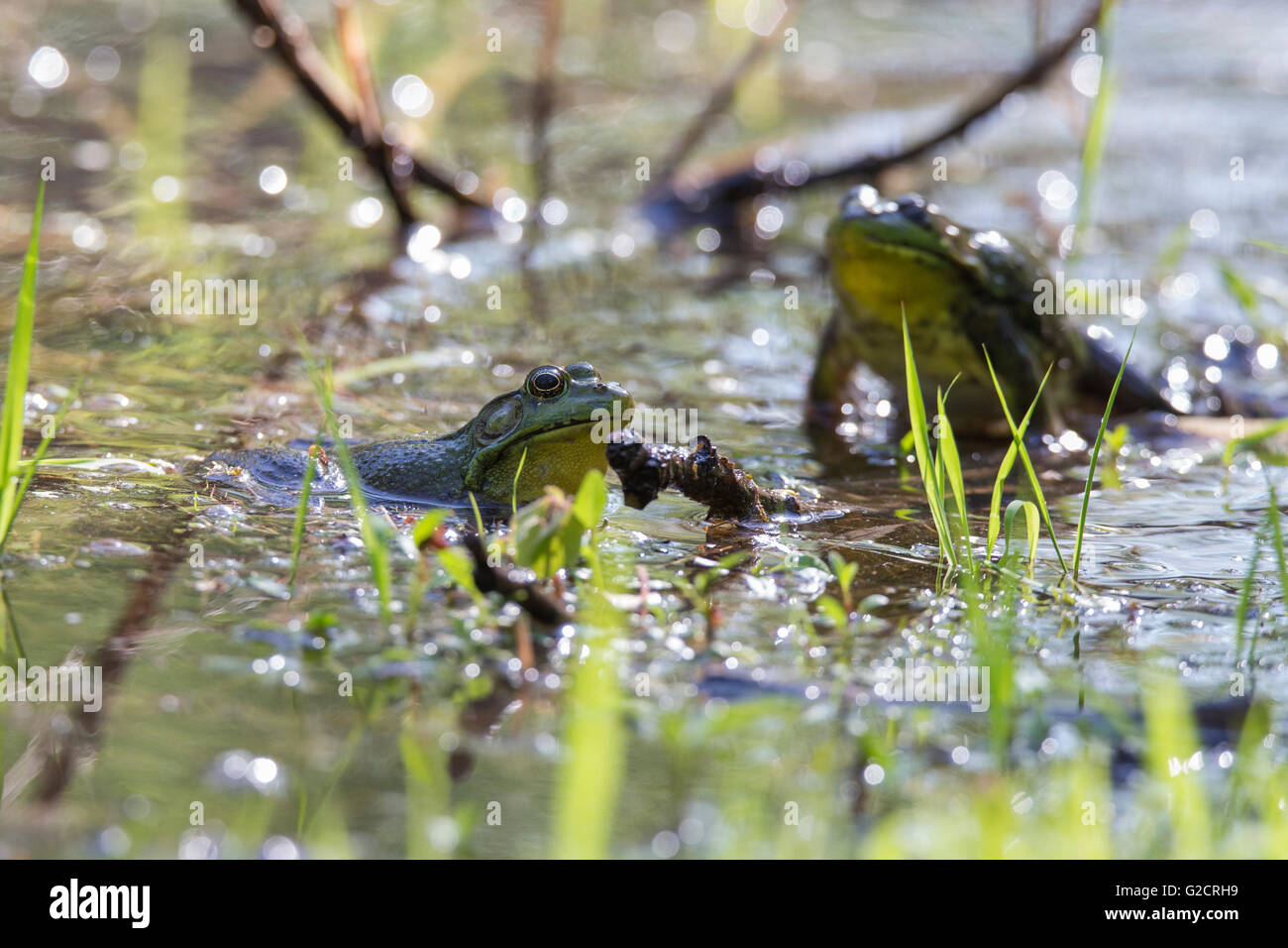 Two territorials males Green Frog-Lithobates (Rana) clamitans melanota fighting in spring. - Stock Image