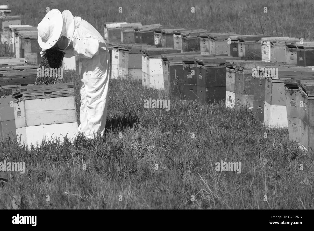 horizontal side view of a beekeeper in a ehite protection suit checking the honey comb in the hive - Stock Image
