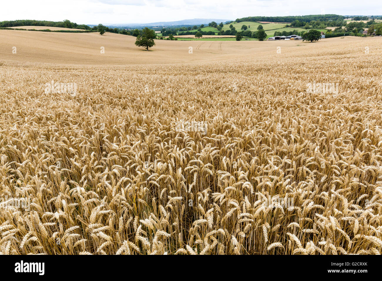 Wheat field crop near Edvin Loach, Herefordshire, England, UK - Stock Image