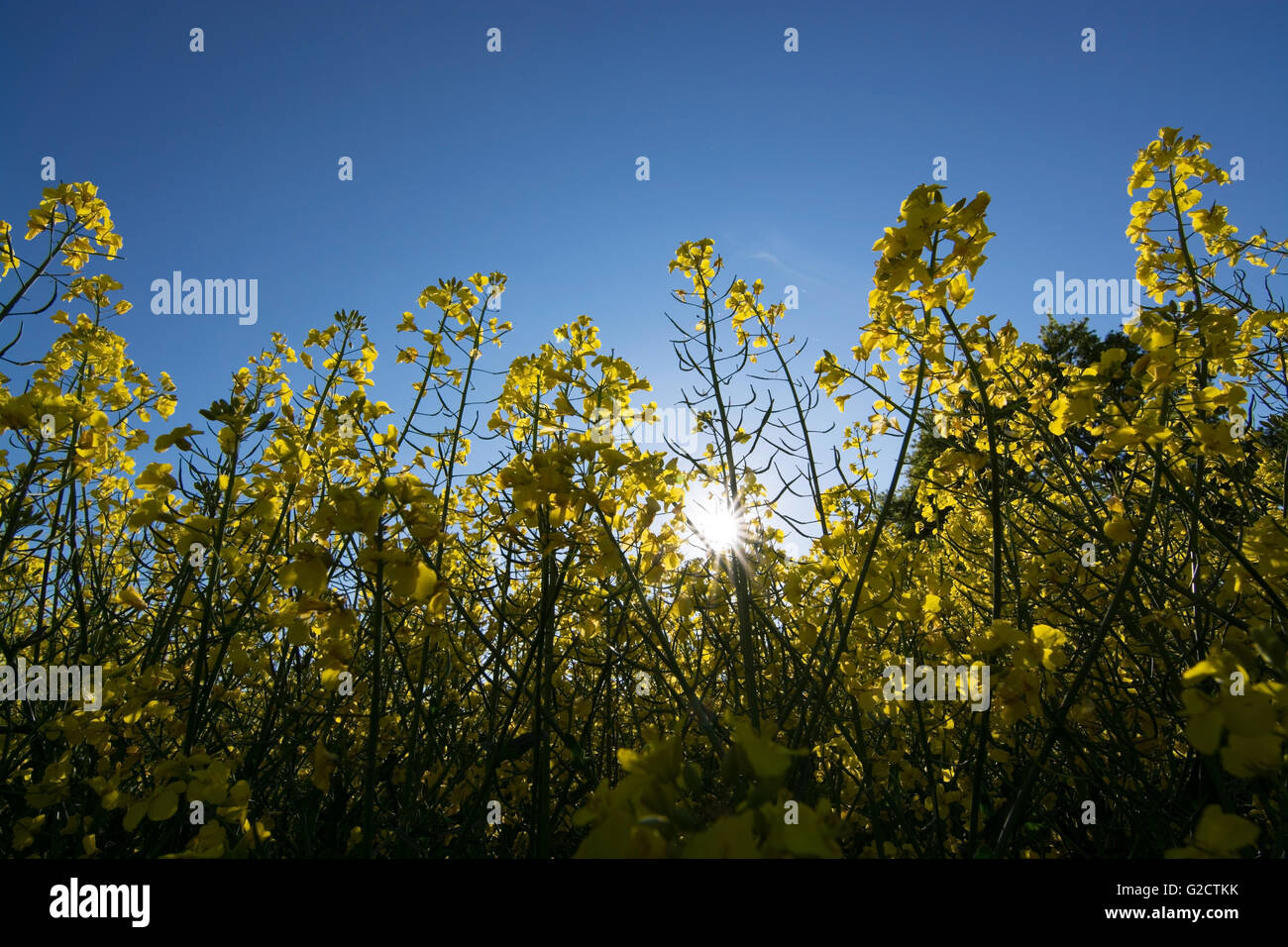 Rape Flowers In Germany In May Stock Photo 104774311 Alamy