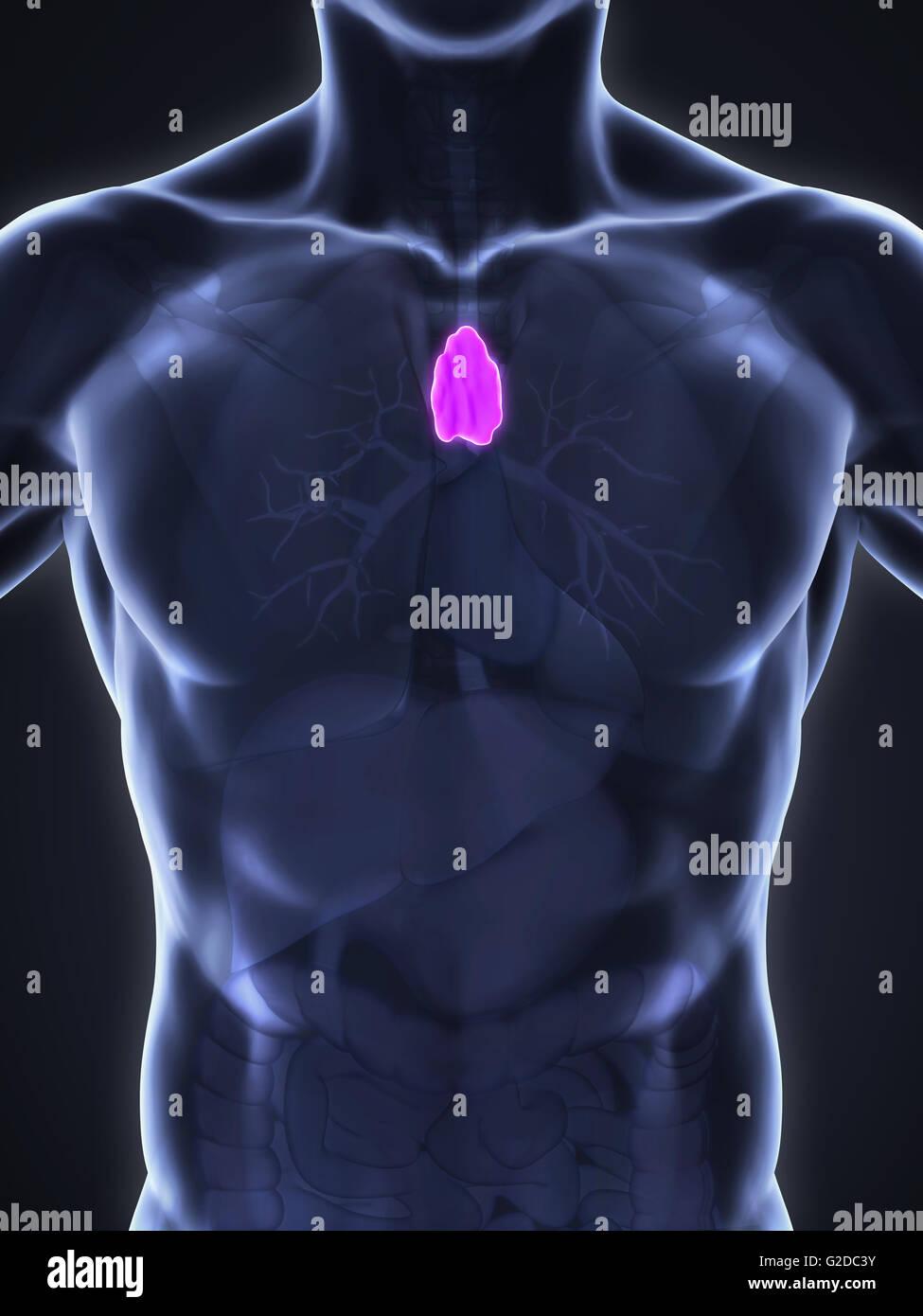 Human Thymus Anatomy Stock Photo: 104786415 - Alamy