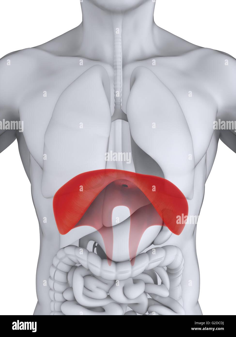 Human Diaphragm Anatomy Stock Photo 104786686 Alamy