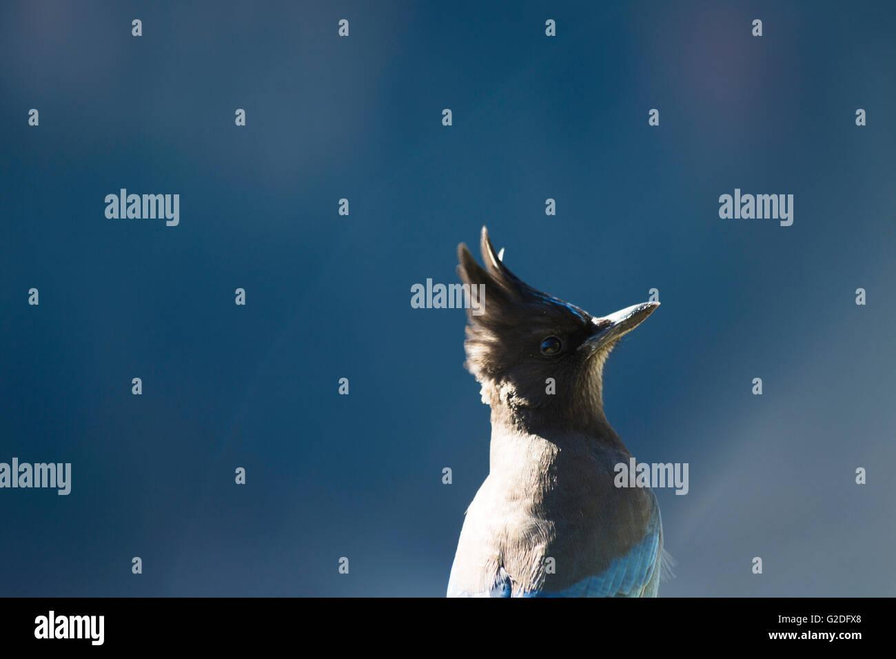 Stellar Blue Jay - Stock Image