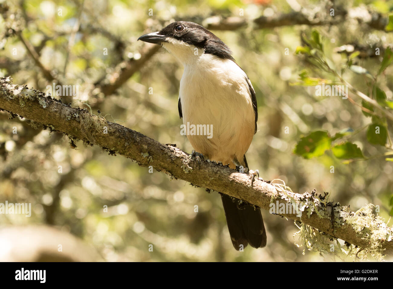 The Fiscal Flycatcher  (Melaenornis silens) - Stock Image